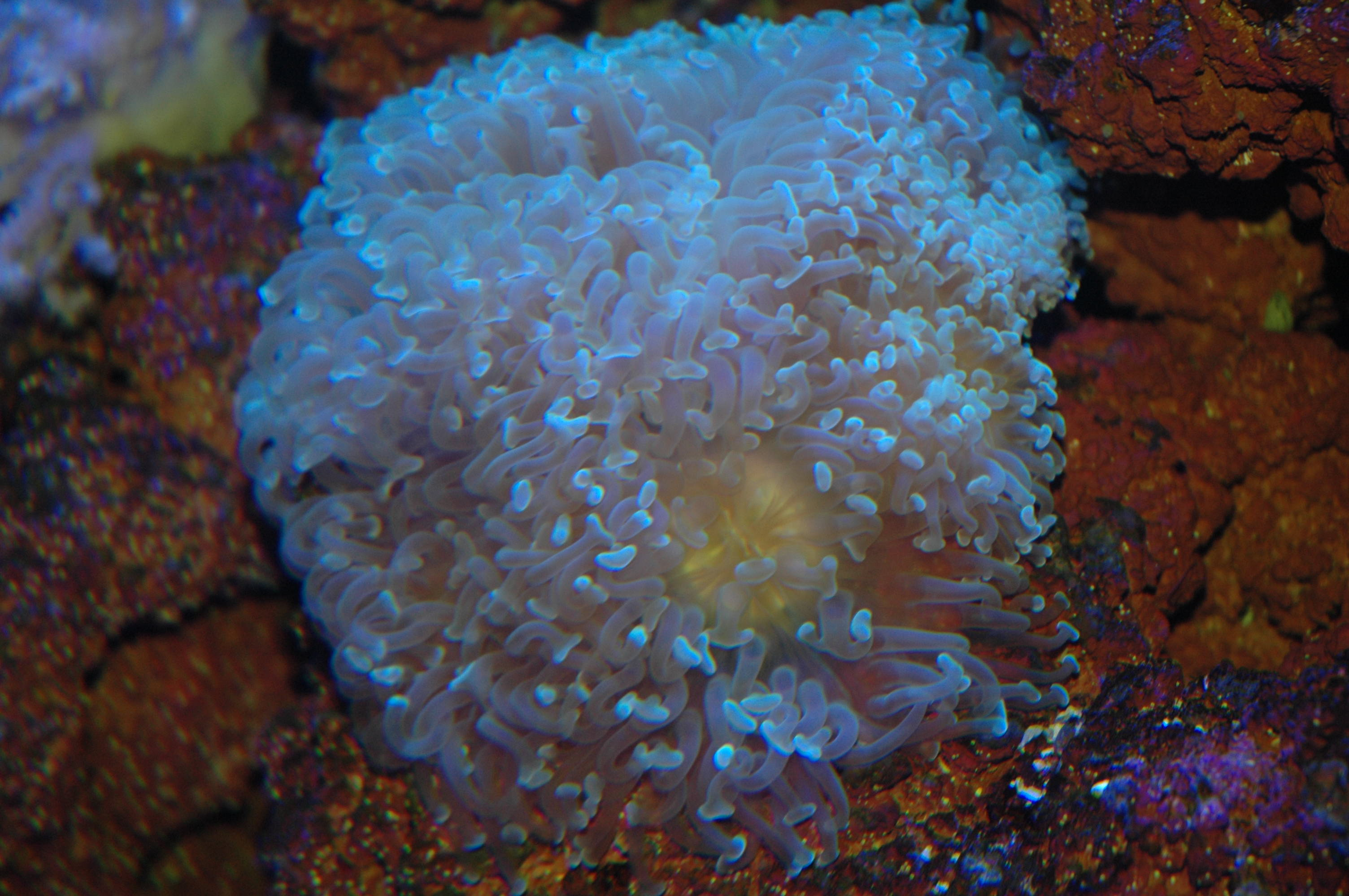 kurbağa çekiç mercan