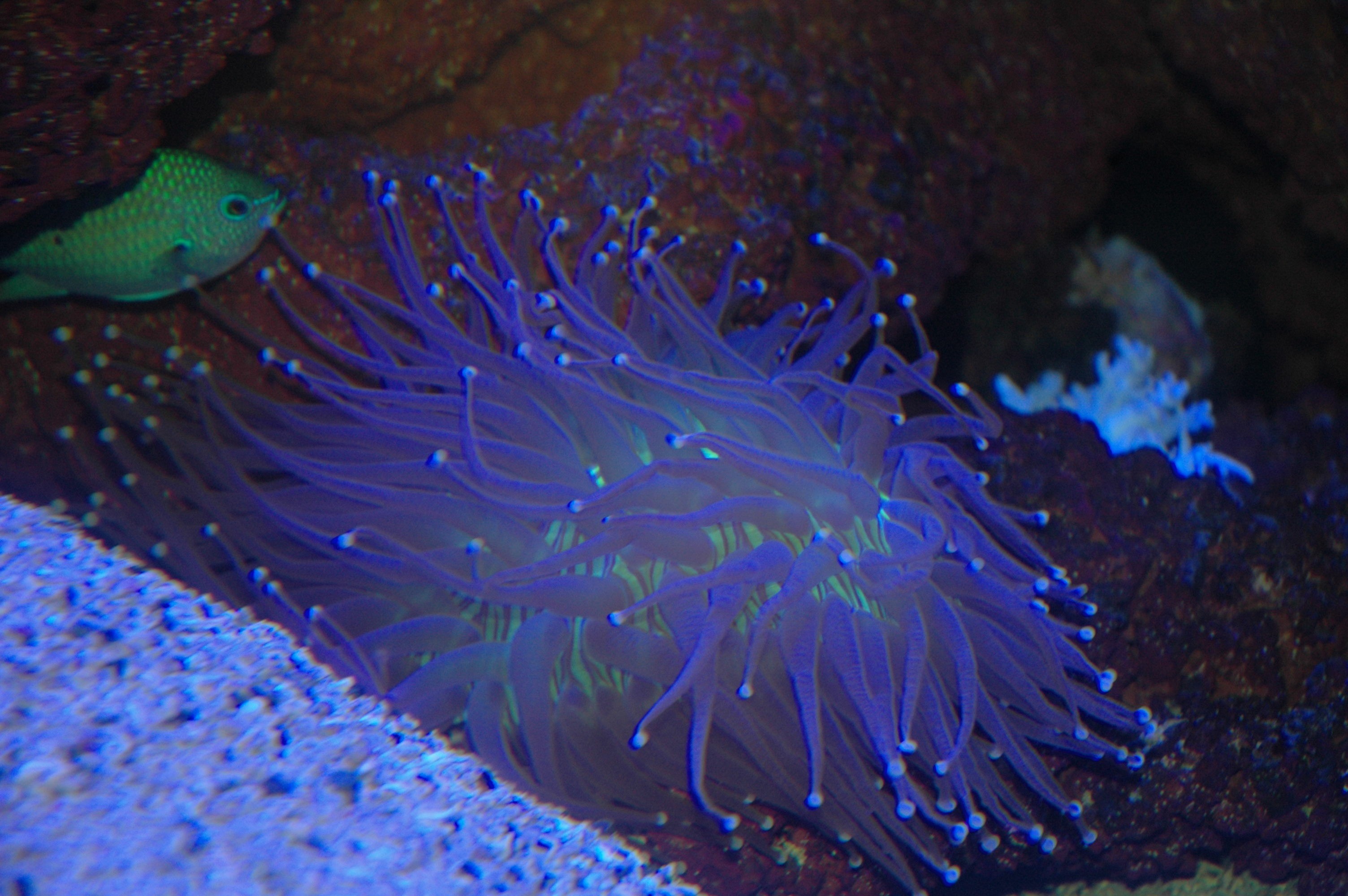 long polyp coral