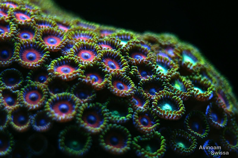 orphek-led-light-coral