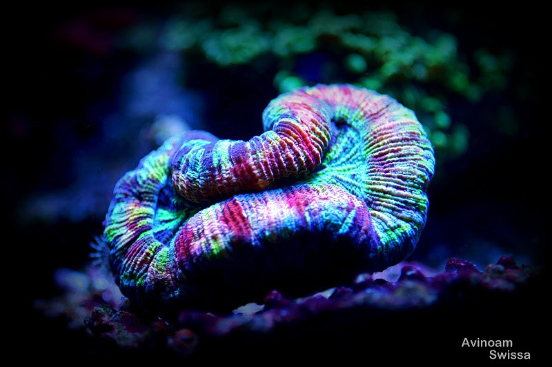 orphek-led-lighting-coral-photo-13