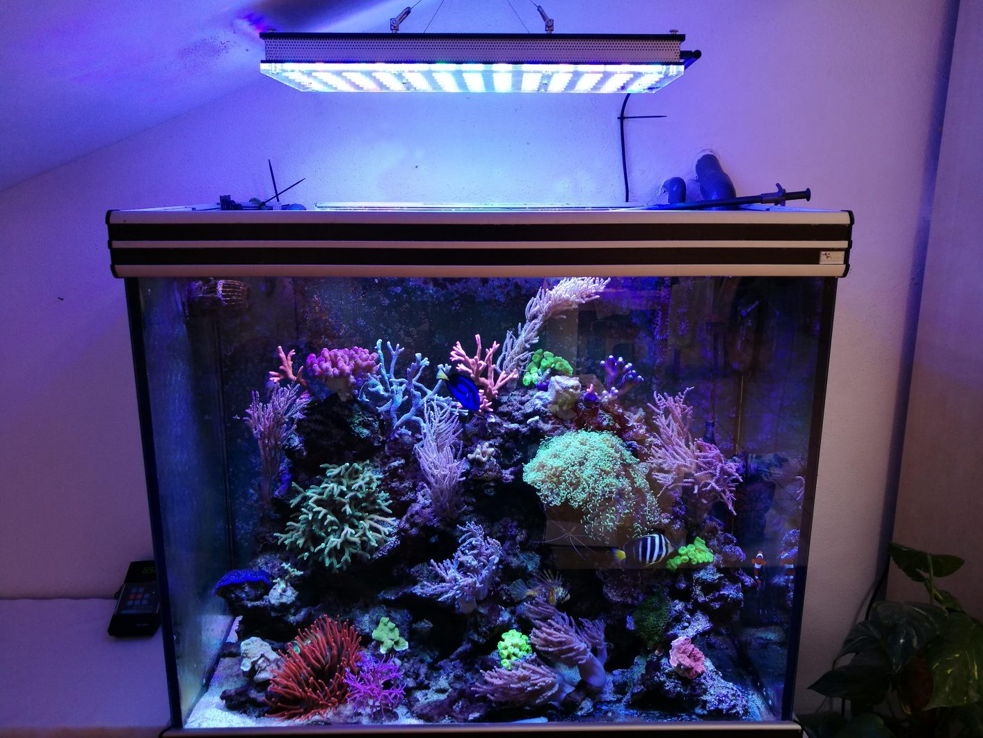 Reef-san hô-SPS -và-LPS-Orphek-Atlantik-v4-LED-Light