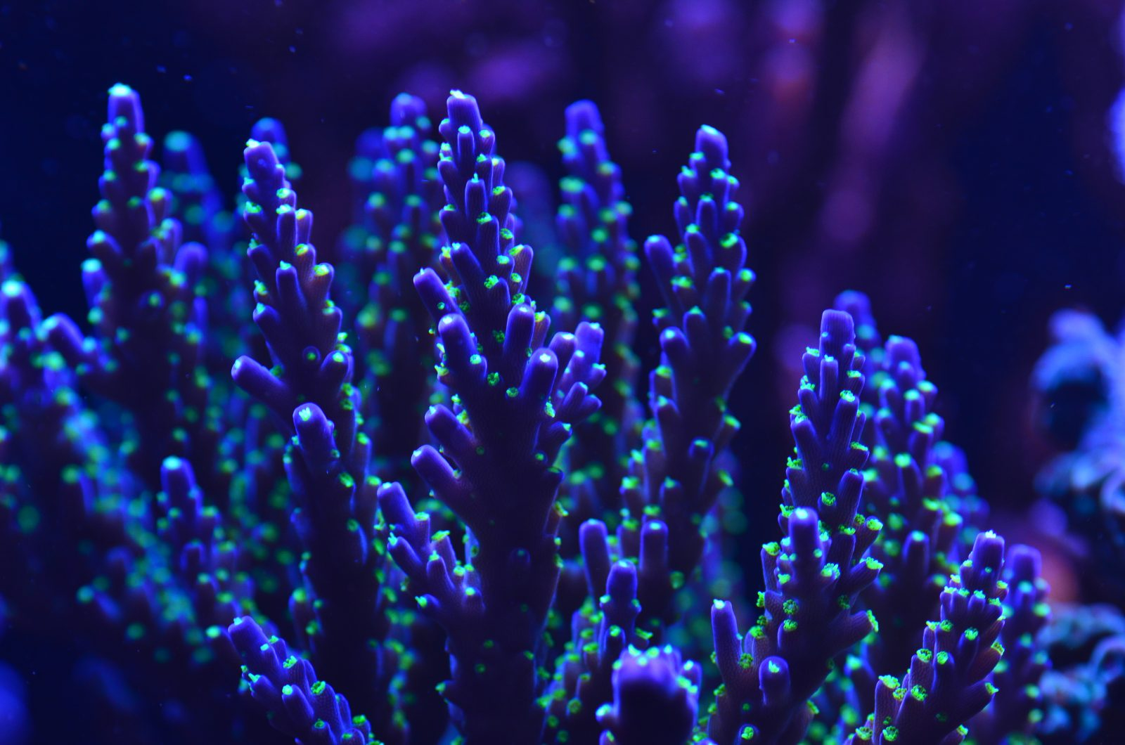 تیره آبی-sps-coral-macro-photo-led-light