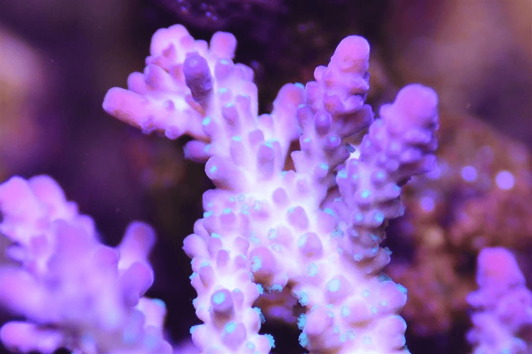 lilac green polyp 2