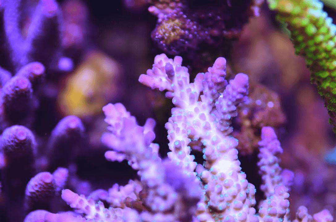lilac-green-polyp