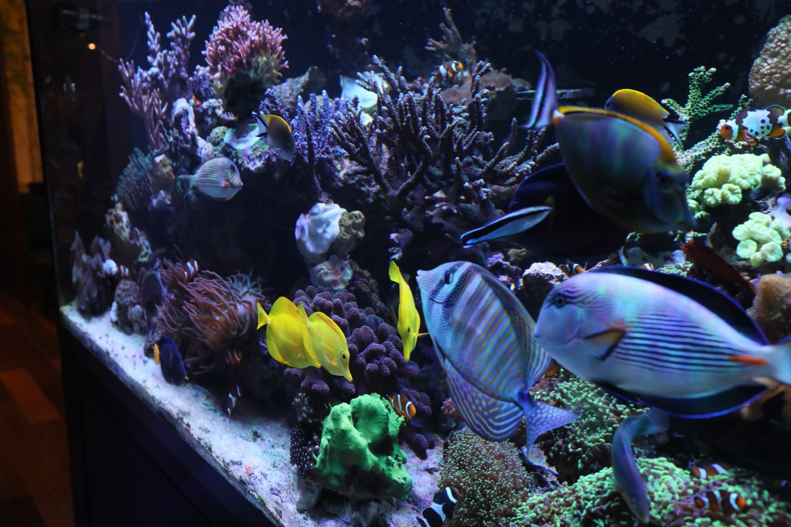 Ayu_fish_reef_aquarium