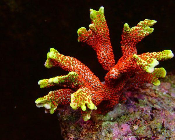 Erstaunliche bunte SPS Korallen unter LED-Lichtern