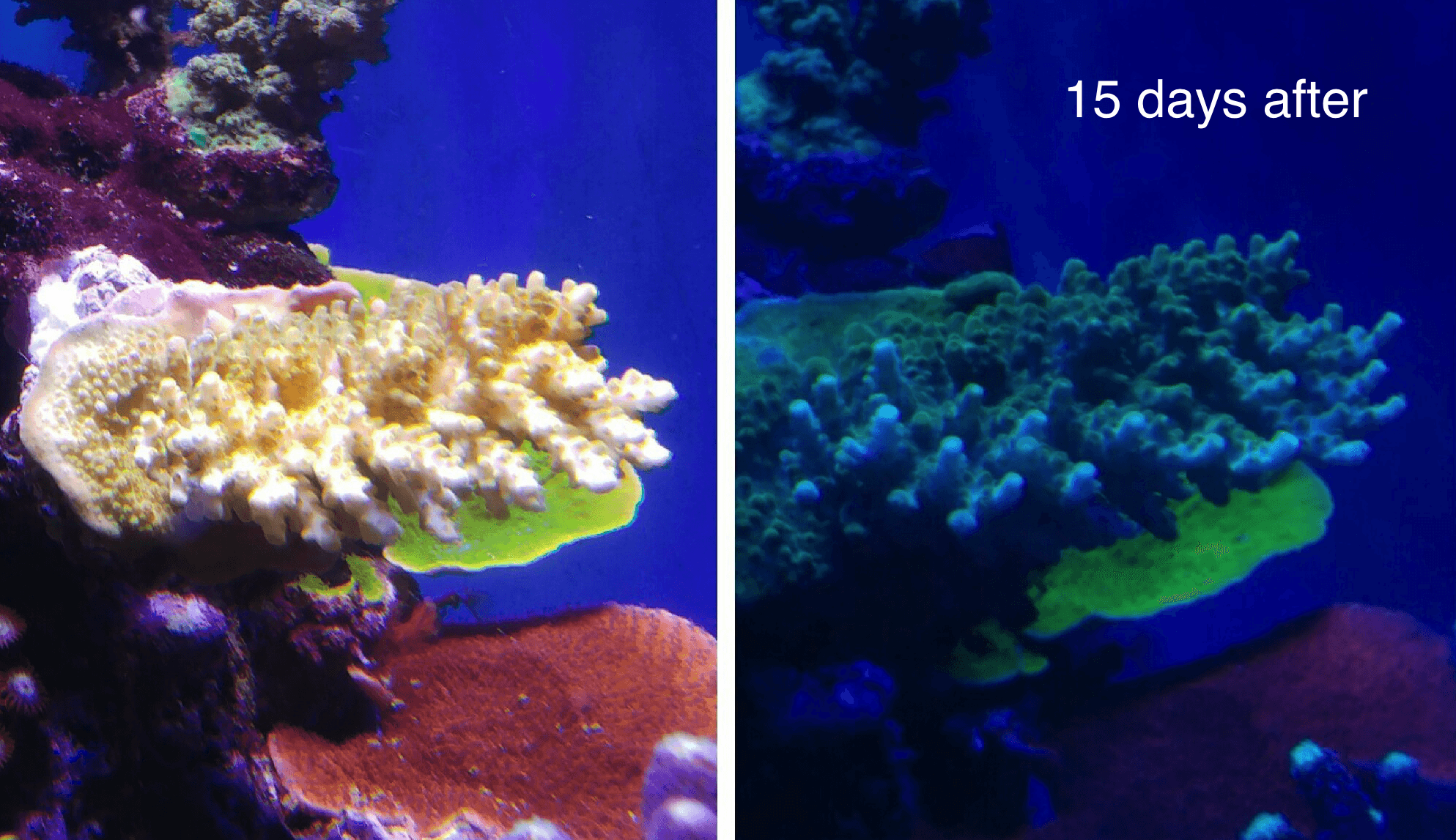Coral Color Amp Growth Under Atlantik Compact Aquarium Led