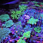 SPS-CORAL-LED-acquario-Lighting-Orphek00029