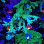 BLUE-Green-coral-LED-Aquarium-Lighting-Orphek