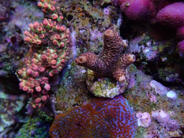 TRIO_SPS_coral_color_under_LED_ 수족관 라이트