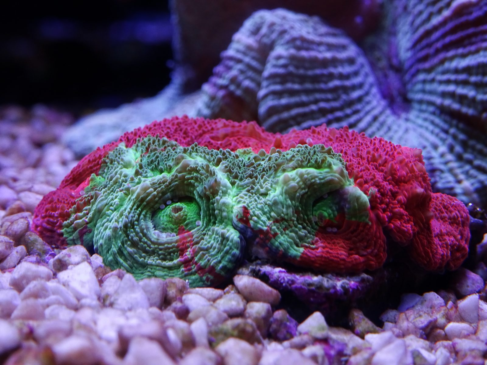 beautiful-lps-coral-tank