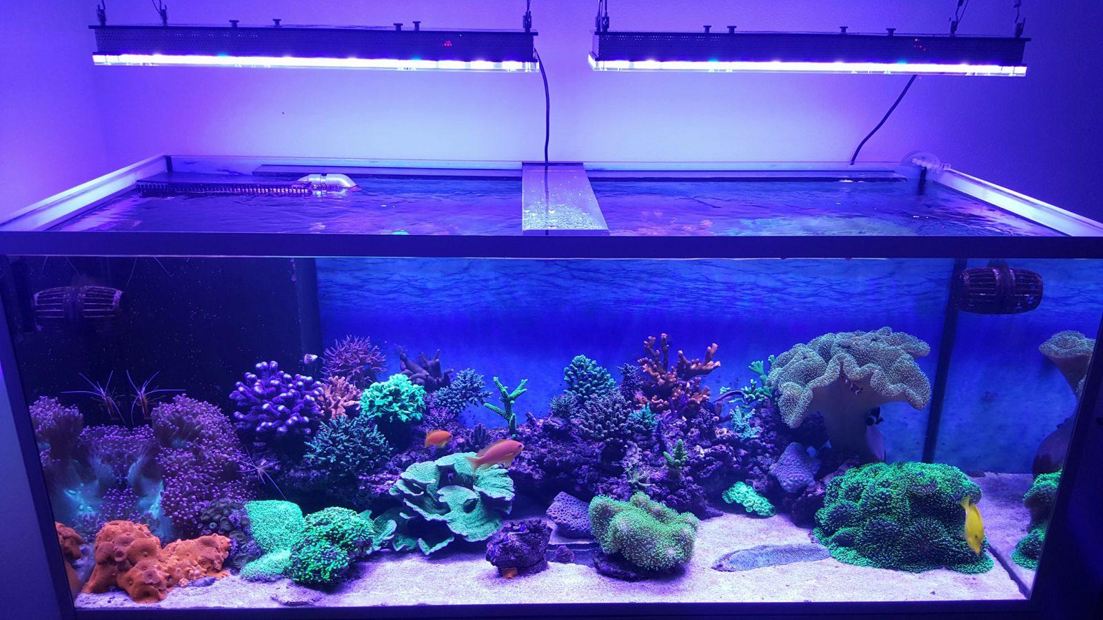 best reef aquarium led beleuchtung fotogalerie orphek. Black Bedroom Furniture Sets. Home Design Ideas
