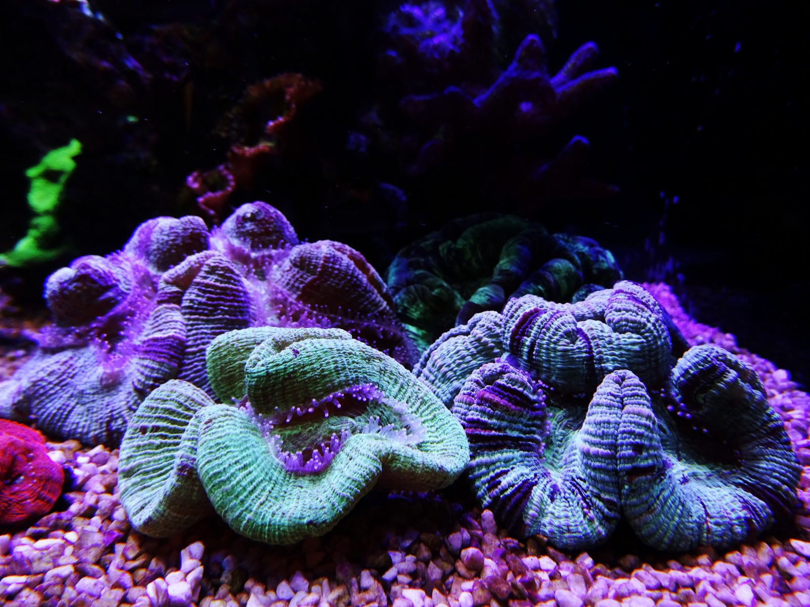 macro-photos-corail-aquarium-LED-Lumière