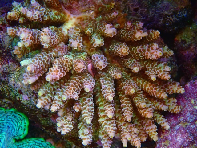 tenuis_WD_SPS_coral_color_under_LED_Aquarium_lights