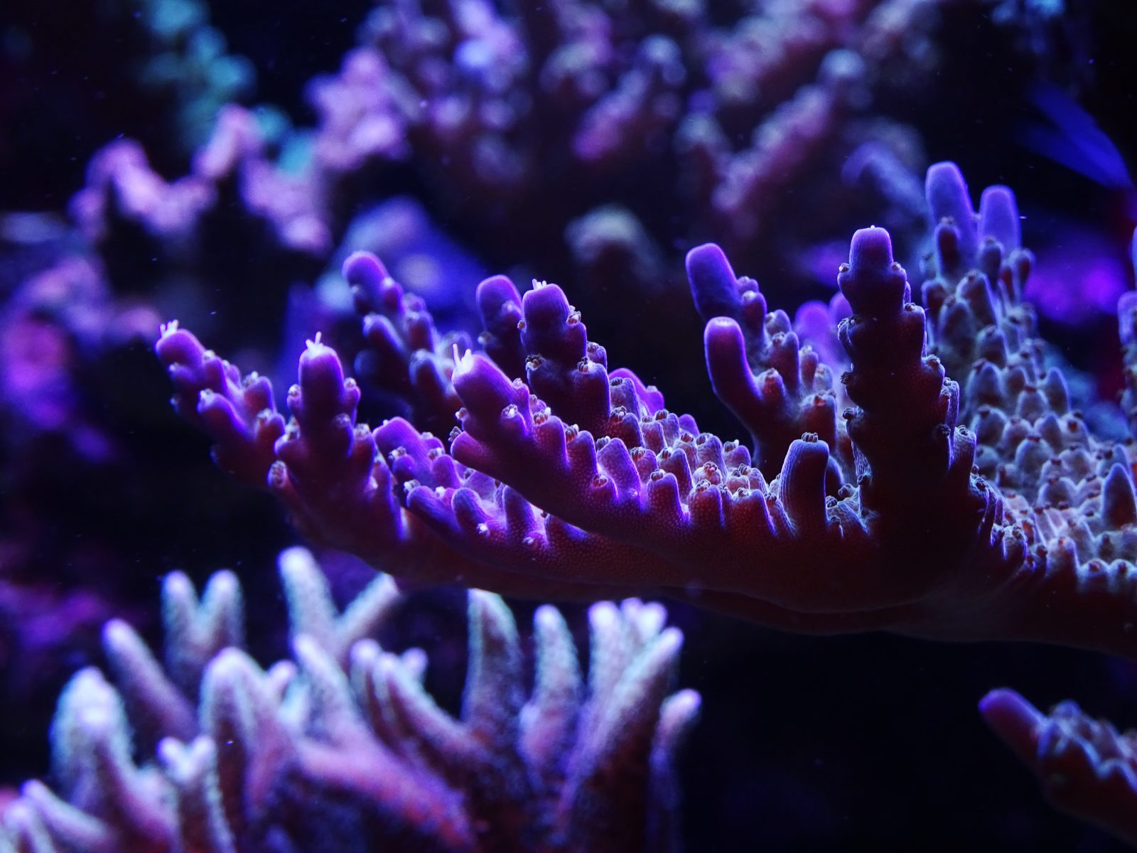 violet-sps-aquarium-LED