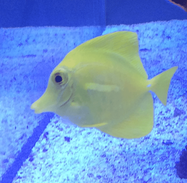 yellow_Tang_fish
