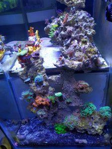 Reef Aquarium aus Malaysia unter Orphek LED Aquarium Licht