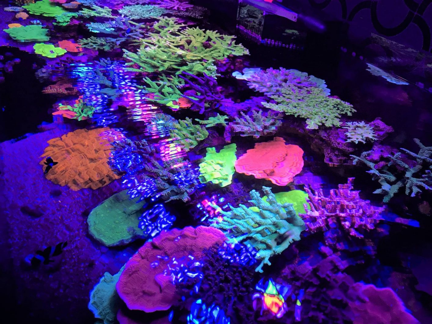 Sps_corals_orphek_atlantik_v4_LED_lights