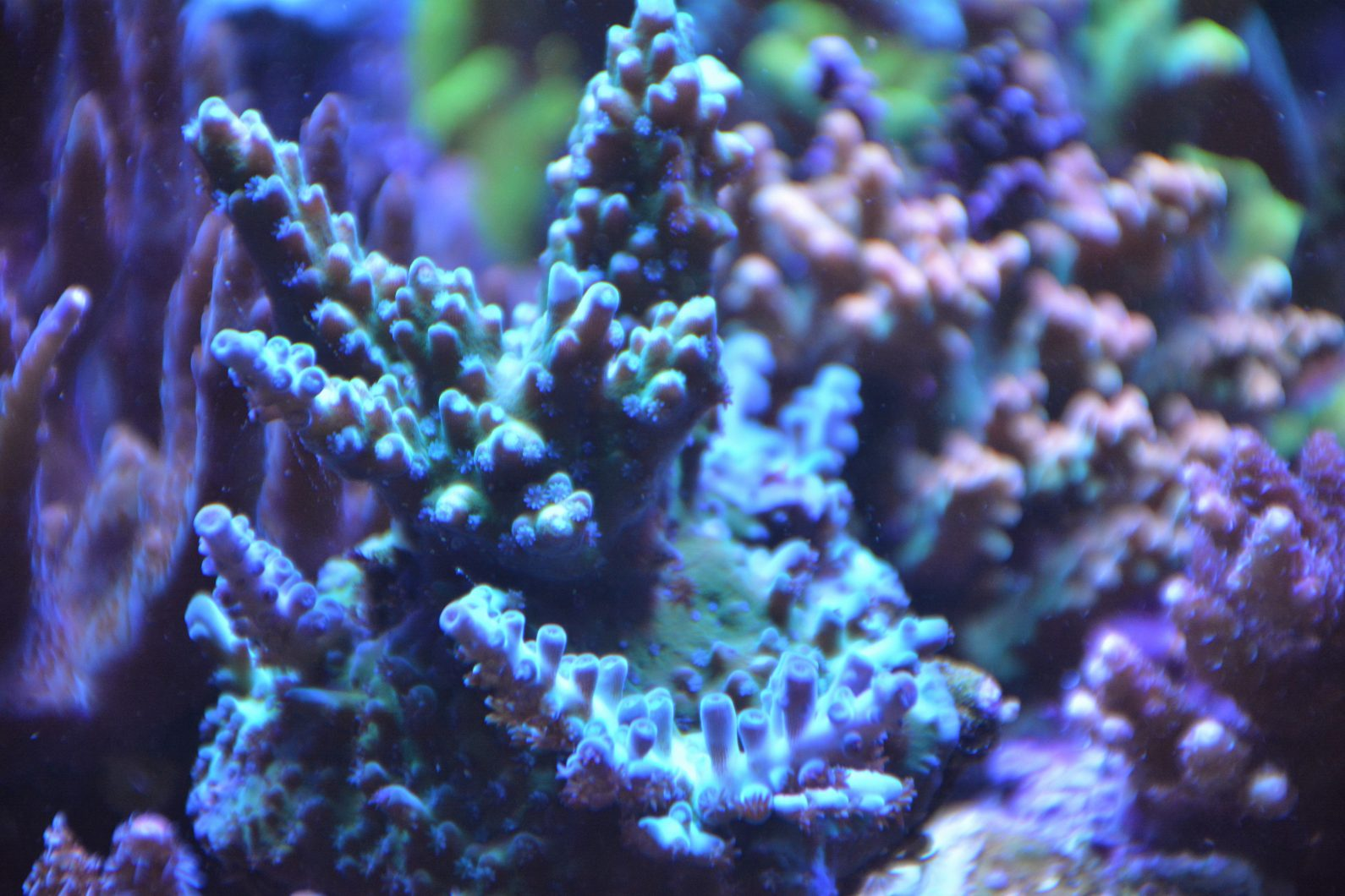 blue-sps-LED-aquarium-éclairage