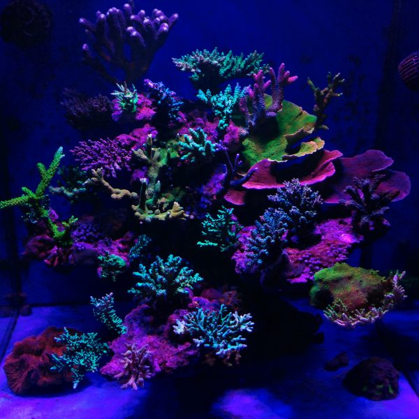 Upgrade to Atlantik V4 Reef Aquarium LED and Get Better Coral Color & Growth