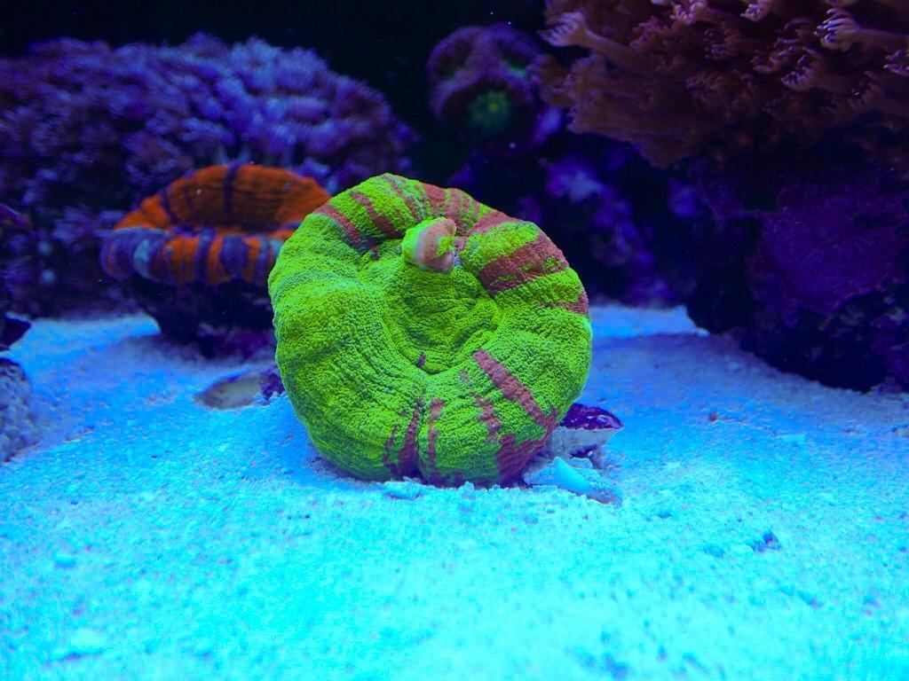 Reef reef orphek atlantik led illuminazione per acquari foto