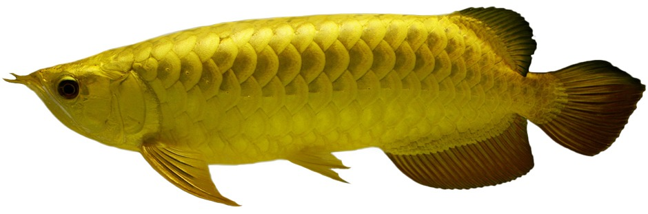 MERLION ROYAL AROWANA