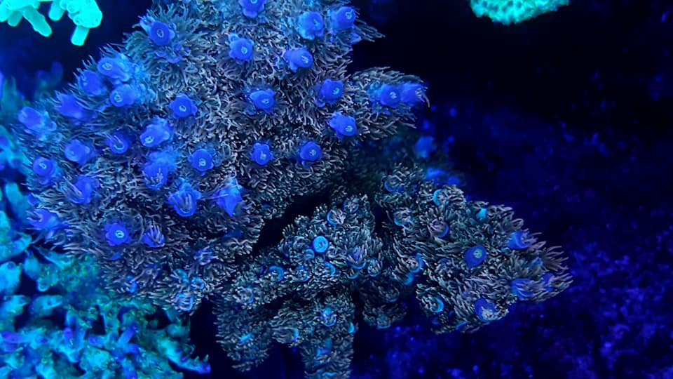 azul uv violeta coral fluorescente o barra LED