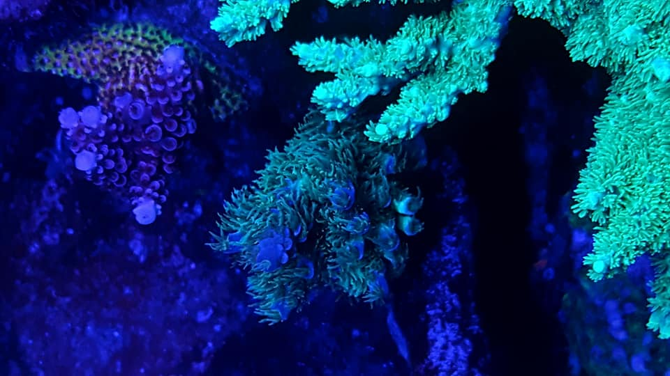 uv violet fluorescent coral -OR -BAR -LED6