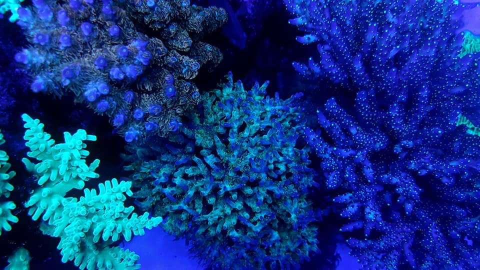 blue-violet blue uv violet fluorescent coral -OR -BAR -LED1
