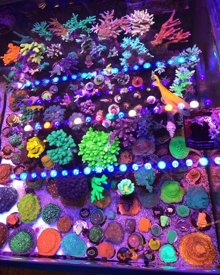 coral_aquarium_orphek_bar_LED