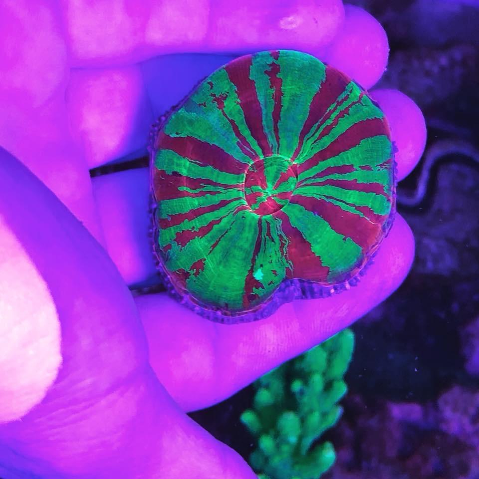 coral_orphek_UV_bar_LED