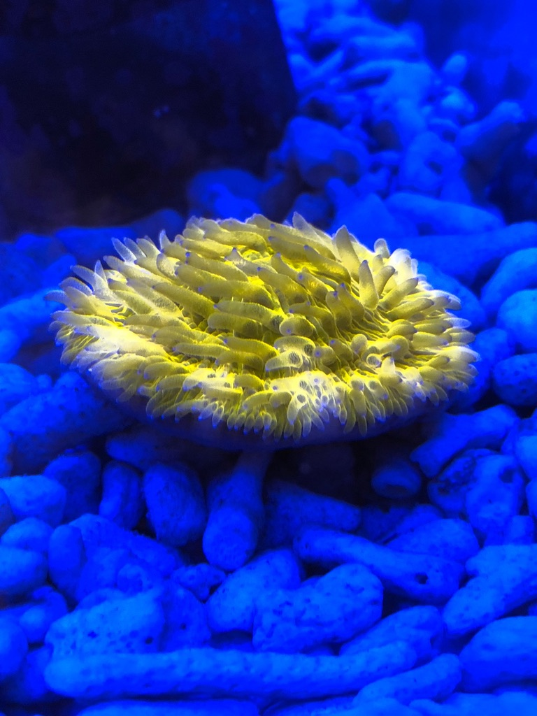 coral_under_Orphek_OR120_bar_LED