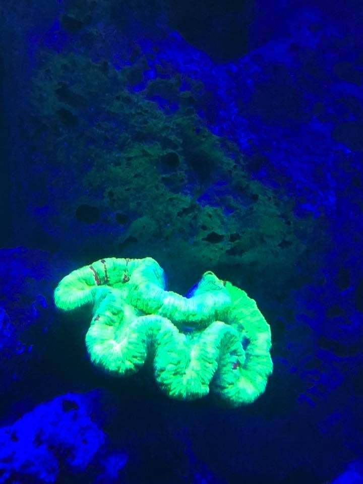 flurecent_coral_under_Orpgek_UV_bar_LED