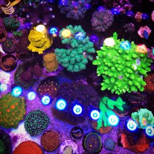 Orphek or Bar LEDを備えた20 Reef Aquarium写真