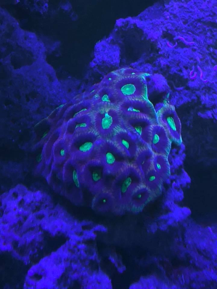 uv_LED_corals
