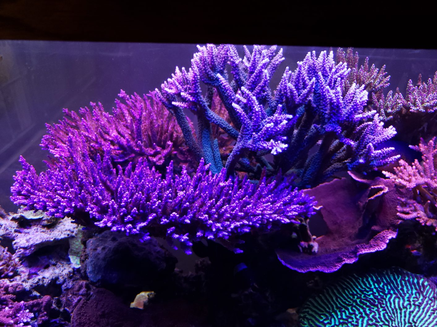 SPS-dominated reef