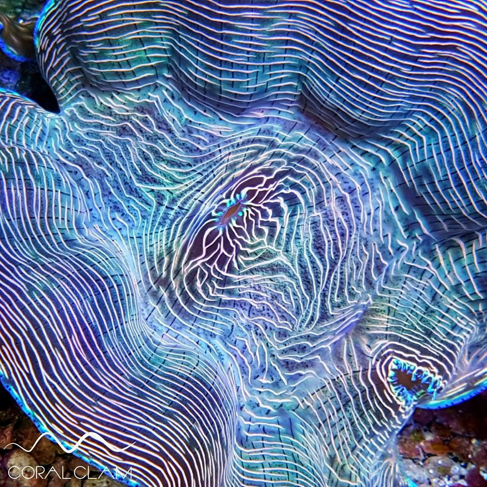 Tridacna Clams orphek Atlantik