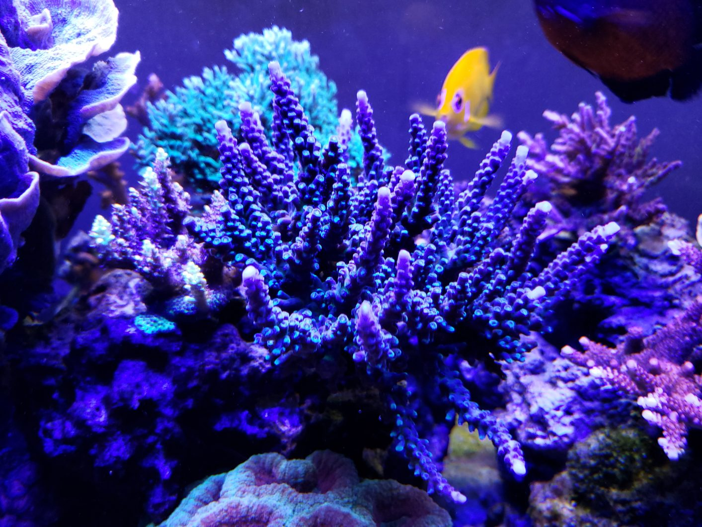 blue-sps-coral-orphek-led