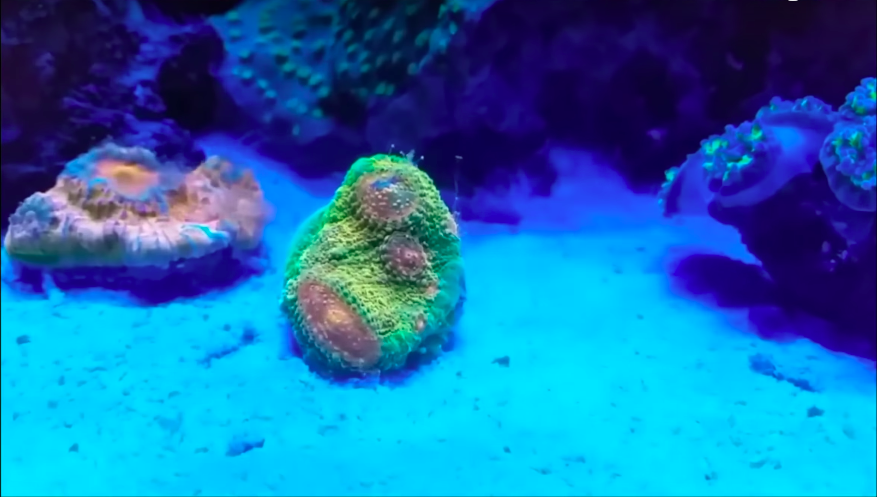 швидкий coral_grow_color