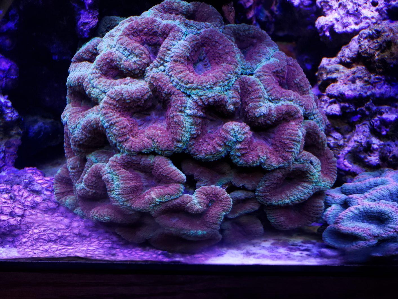 LPS-кораллово-orphek под руководством