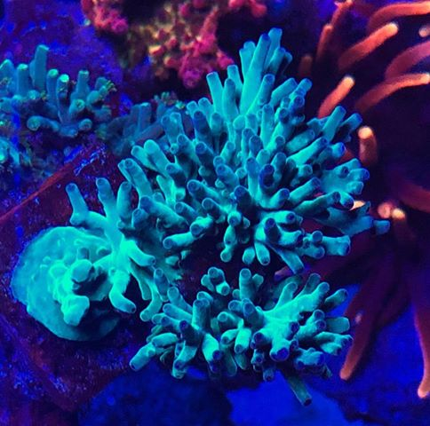 most-colorful-corals-for-a-saltwater-tank2
