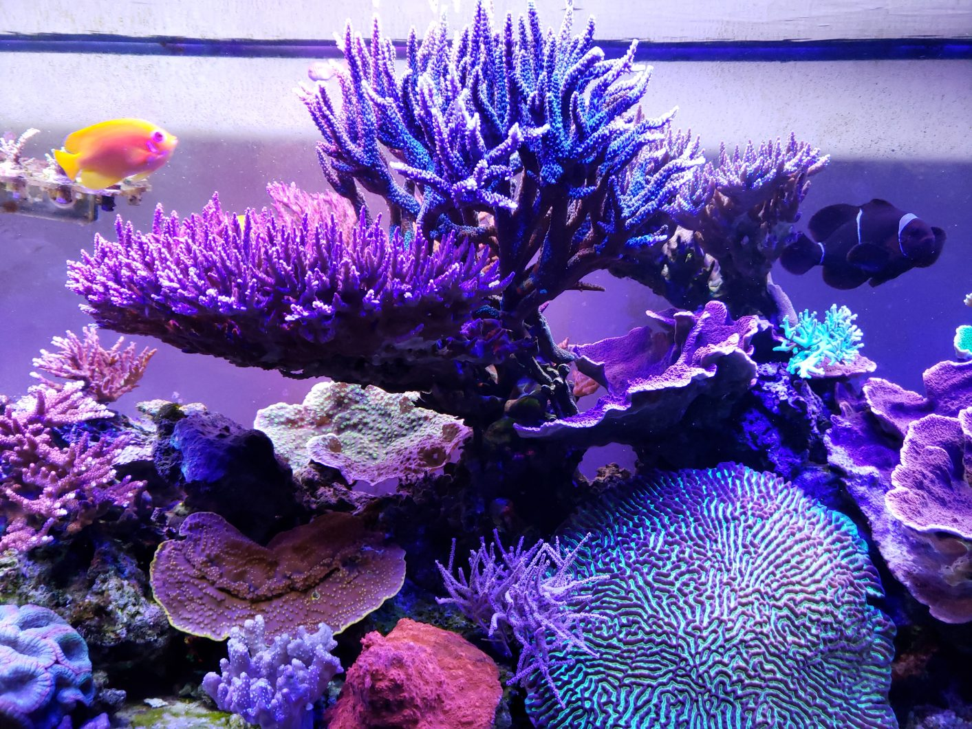 -Sps-reef-aquarium-orphek LED
