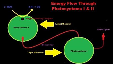 Energiefluss in der Photosynthese