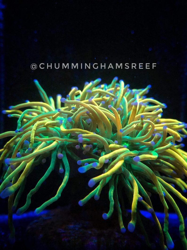 leća filter koralna leća orphek