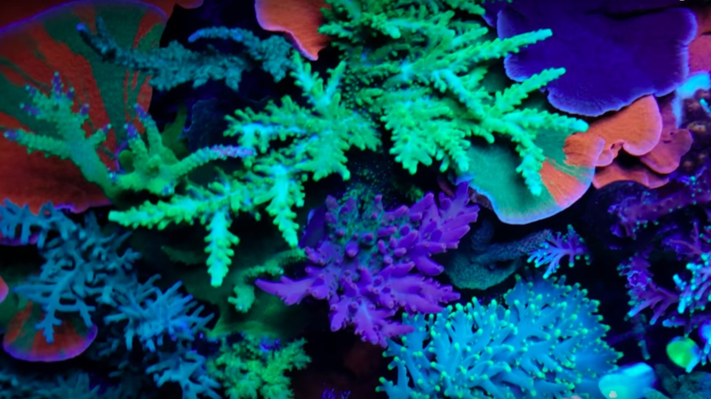 colorful reef tank corals