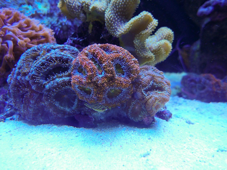 pencahayaan LED karang sps terbaik