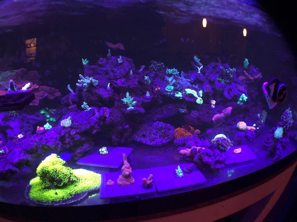 hermoso crecimiento de coral orphek iluminación del acuario