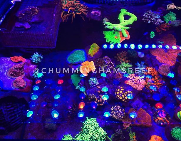 beautiful LPS corals LED lighting