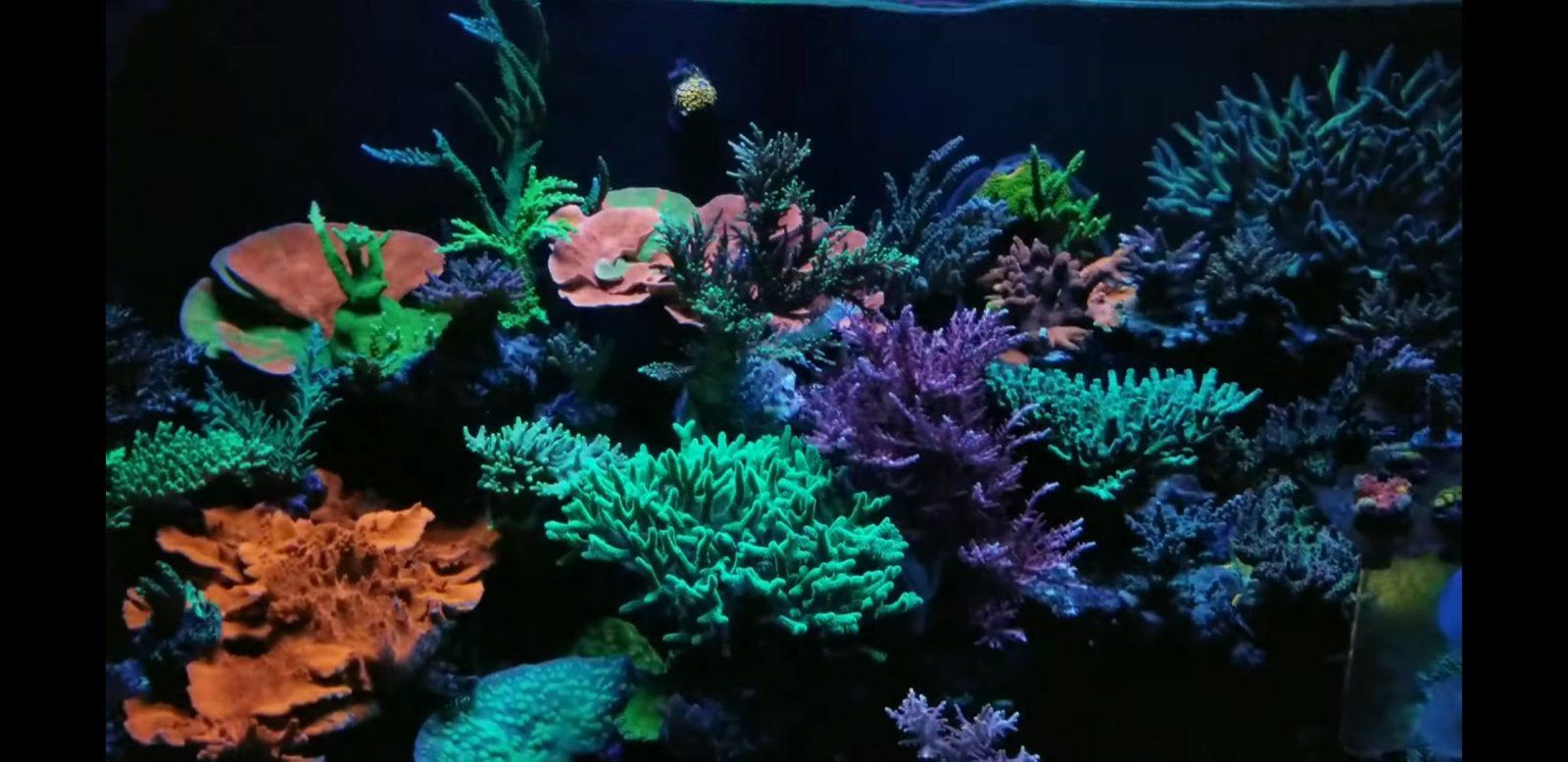 惊人的珊瑚流行最佳照明