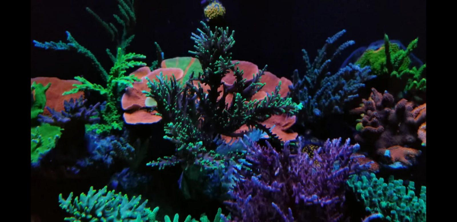 多彩珊瑚的水族馆照明